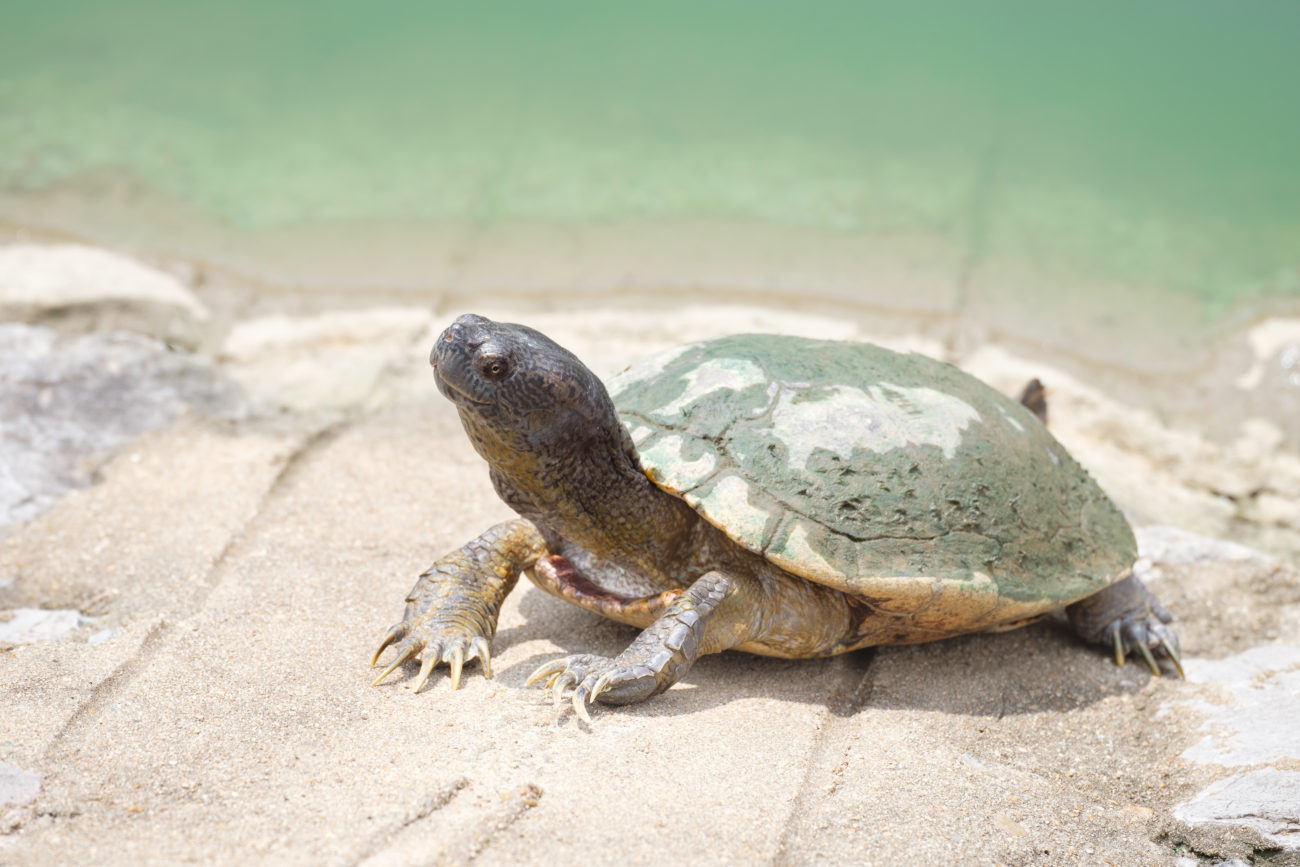 mud turtles